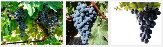 racimos de uva tempranillo