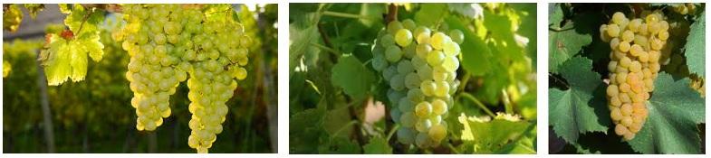 uvas sauvignon blanc