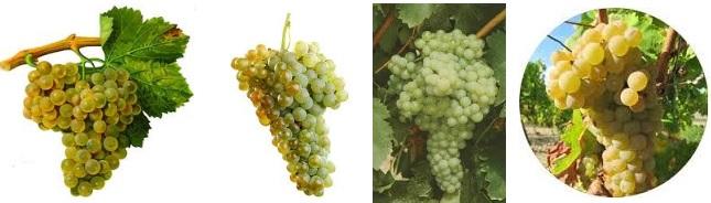 uva viura